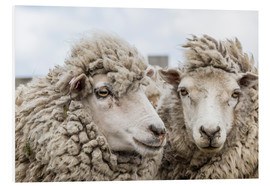 Print på skumplade  Sheep waiting to be shorn, Falkland Islands - Michael Nolan