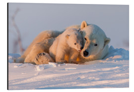 Print på aluminium  Polar bear and cub, Wapusk National Park - David Jenkins