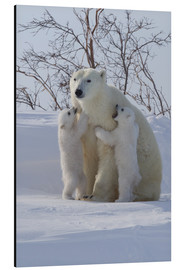 Print på aluminium  Polar bear (Ursus maritimus) and cubs, Wapusk National Park, Churchill, Hudson Bay, Manitoba, Canada - David Jenkins