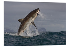 Print på skumplade  Great white shark (Carcharodon carcharias), Seal Island, False Bay, Simonstown, Western Cape, South - David Jenkins
