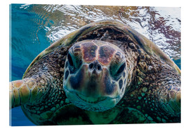 Akrylbillede  Green sea turtle - Michael Nolan