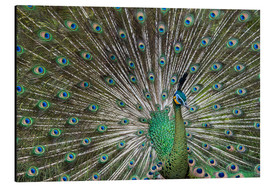 Print på aluminium  Java green peafowl (Pavo muticus) - Gabrielle & Michel Therin-Weise