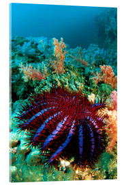 Akrylbillede  Crown-of-thorns starfish - Dave Fleetham