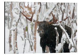 Print på aluminium  Elk sniffing in a winter forest - Philippe Henry