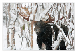 Premium-plakat  Elk sniffing in a winter forest - Philippe Henry