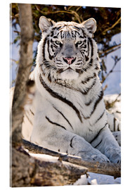 Akrylbillede  White Bengal Tiger - Chad Coombs