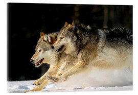 Akrylbillede  Pack Of Grey Wolves Running Through Deep Snow - John Hyde