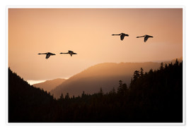 Premium-plakat  Swans in flight at sunset - John Hyde