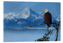 Akrylbillede  Bald Eagle on a Spruce - John Hyde