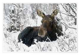 Premium-plakat  Cow elk in a winter forest - Philippe Henry