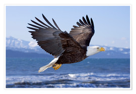 Premium-plakat  Flying Bald Eagle - Don Pitcher