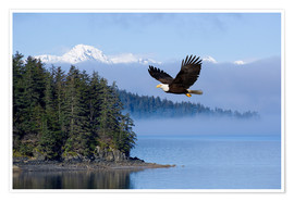 Premium-plakat  Bald Eagle in flight - John Hyde