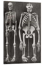 Akrylbillede  Skeletons Of Man and Gorilla - Ken Welsh