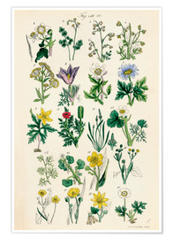 Premium-plakat  Wildflowers - Sowerby Collection
