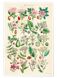 Premium-plakat  Wildflowers 421 - 440 - Sowerby Collection