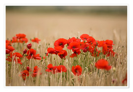 Premium-plakat Poppies Growing Wild