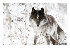 Premium-plakat Wolf In The Snow