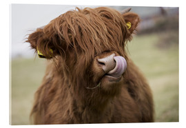 Akrylbillede  Highland Cattle Licking It's Lips - John Short