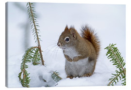Lærredsbillede  Red squirrel - Philippe Henry