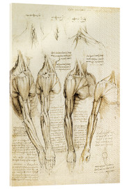 Akrylbillede  Muscles of shoulder, arm and neck - Leonardo da Vinci