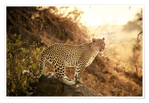 Premium-plakat female Leopard at sunset