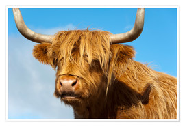 Premium-plakat Scottish highland cattle