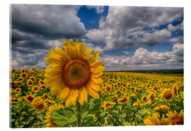 Akrylbillede  King of Sunflowers - Achim Thomae