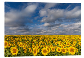 Akrylbillede  Sea of Sunflowers - Achim Thomae