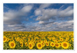 Premium-plakat  Sea of Sunflowers - Achim Thomae