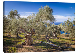 Lærredsbillede  Ancient olive trees in Mallorca (Spain) - Christian Müringer