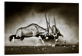 Akrylbillede  Gemsbok antelope fighting in dusty sandy desert - Johan Swanepoel