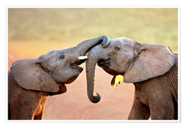 Premium-plakat Two elephants interact gently with trunks