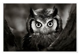 Premium-plakat  White-faced Owl perched in a tree - Johan Swanepoel