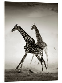 Akrylbillede  Giraffes running in the dust - Johan Swanepoel