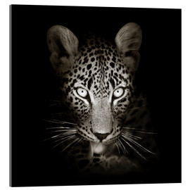 Akrylbillede  Leopard portrait licking it's paw - Johan Swanepoel
