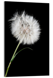 Akrylbillede  the big white dandelion