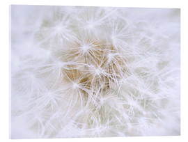 Akrylbillede  Dandelion - white as snow