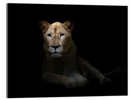 Akrylbillede  White Lioness in the dark night