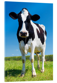 Akrylbillede  Cow - Black and White