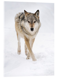 Akrylbillede  Gray Wolf in Snow