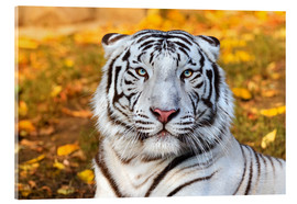 Akrylbillede  White Tiger in closeup