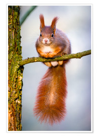 Premium-plakat  Squirrel on small branch