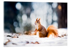 Akrylbillede  Squirrel looking for its nut