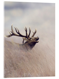 Akrylbillede  The call of the stag