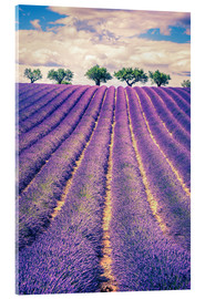 Akrylbillede  Lavender field with trees in Provence, France
