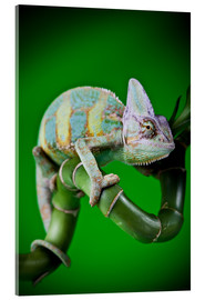 Akrylbillede  green chameleon on bamboo