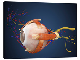 Lærredsbillede  Human eye with muscles and circulatory system.