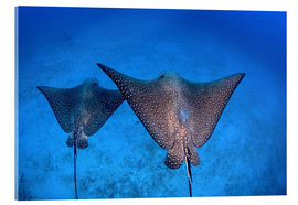 Akrylbillede  Spotted eagle rays - Ethan Daniels