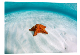 Akrylbillede  A West Indian starfish on the seafloor in Turneffe Atoll, Belize. - Ethan Daniels