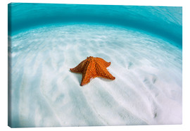 Lærredsbillede  A West Indian starfish on the seafloor in Turneffe Atoll, Belize. - Ethan Daniels